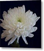 Florida Flowers - White Gerbera Ready For Full Bloom Metal Print