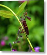 Florida Leaf-footed Bug Metal Print