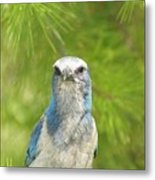 Florida Scrub Jay In Pine Metal Print