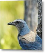 Florida Scrub Jay On Tree Trunk 2 Metal Print