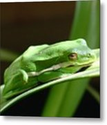 Florida Tree Frog Metal Print
