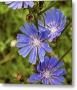 Flower Chicory Metal Print