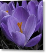 Flower Crocus Metal Print