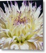 Flower Dahlia. Macro Metal Print