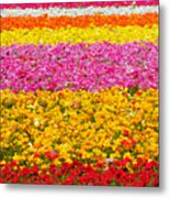 Flower Fields Carlsbad Ca Giant Ranunculus Metal Print