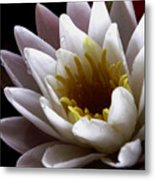 Flower Waterlily Metal Print