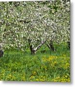 Flowering Apple Orchard Metal Print