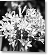Flowering Blue African Lily Of The Nile Metal Print