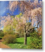Flowering Cherry In Botanic Garden Metal Print