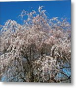 Flowering Cherry  Metal Print