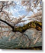 Flowering Cherry Tree Metal Print