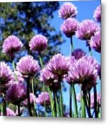 Flowering Chives Metal Print