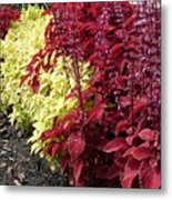 Flowering Coleus Metal Print