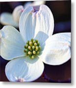 Flowering Dogwood Metal Print