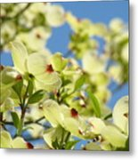 Flowering Dogwood Tree Art Print White Dogwood Flowers Blue Sky Art Metal Print