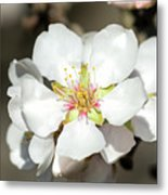 Flowering Fruit Tree Metal Print