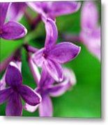 Flowering Lilac Metal Print