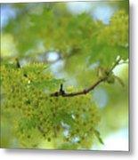 Flowering Maple Tree Metal Print