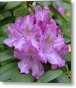 Flowering Pink Rhododendron Blossoms On A Bush Metal Print