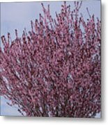 Flowering Plum In Bloom Metal Print