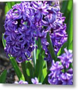 Flowering Purple Hyacinthus Flower Bulb Blooming Metal Print