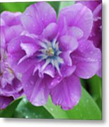 Flowering Purple Tulips With Raindrops From A Spring Rain Metal Print