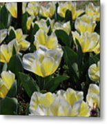 Flowering Yellow And White Tulips In A Spring Garden  Metal Print