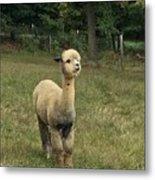 Fluffy Alpaca Metal Print