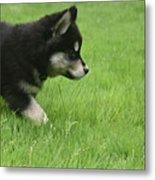 Fluffy Alusky Puppy Stalking In Green Grass Metal Print
