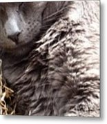 Fluffy Grey Putty Tat Metal Print
