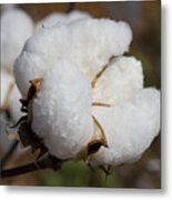 Fluffy White Alabama Cotton Metal Print