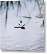 Flying Dragonfly Over Pond With Reeds Metal Print