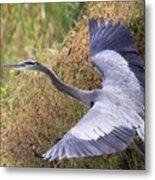 Flying Great Blue Heron Metal Print