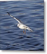 Flying Gull Metal Print by Michal Boubin