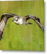Flying Osprey Metal Print