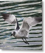Flying Seagull Metal Print