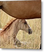Foal And Mare In A Saskatchewan Pasture Metal Print