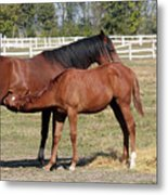 Foal Feeding With Milk Ranch Scene Metal Print