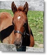 Foal Peaking Through Fence Metal Print