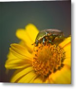 Focused June Beetle Metal Print