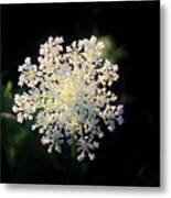 Fools Parsley  Metal Print