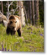 Foraging Grizzly Metal Print