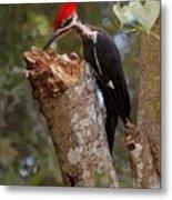 Foraging Pileated Woodpecker Metal Print