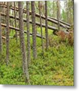 Forest After Storm - Fall Pines In Wild Forest Metal Print