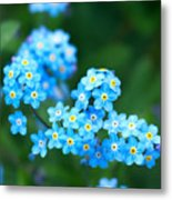 Forget -me-not 4 Metal Print