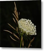 Formal Queen Anne's Lace Study Portrait Metal Print
