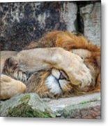 Fort Worth Zoo Sleepy Lion Metal Print