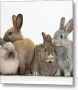 Four Baby Rabbits Metal Print