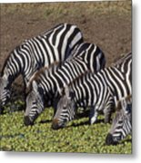 Four For Lunch - Zebras Metal Print