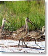 Four Marbled Godwits Metal Print